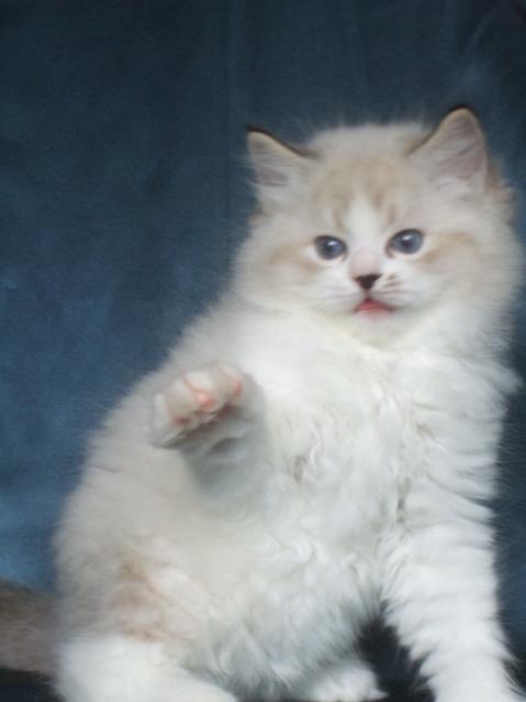 prolapsed rectum in cats