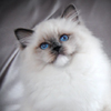 Kitten darlinlildolls ragdoll kittens for sale ottawa montreal kingston toronto ontario canada breeder cats beautiful healthy reccomended