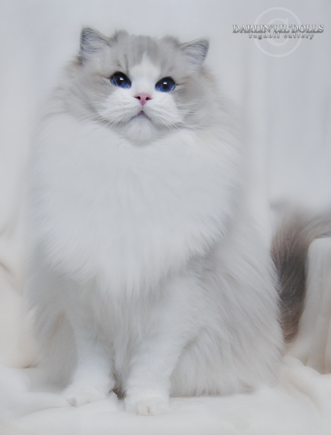 Ragdoll Cats Available For Adoption