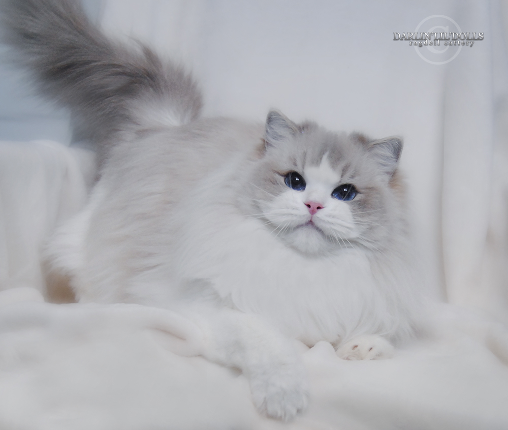 Ragdoll cat breeders ottawa