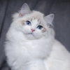Kitten darlinlildolls ragdoll kittens for sale ottawa montreal kingston toronto ontario canada breeder cats