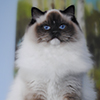 mitted Ontario darlinlildolls ragdoll kittens for sale ottawa montreal kingston toronto